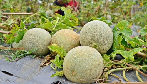 Waduh! Enak dan Manis, Apakah Penderita Diabetes Boleh Makan Buah Melon? Ternyata Oh Ternyata…