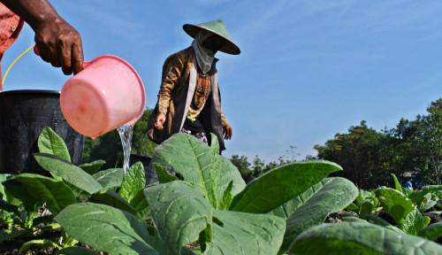 Wacana Revisi Aturan Tembakau, Gerbang Tani: Ini Meresahkan Petani