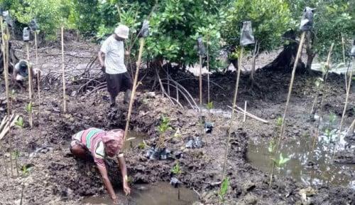Antusias, Warga Sorong Bergotong Royong Tanam 50 Hektare Mangrove