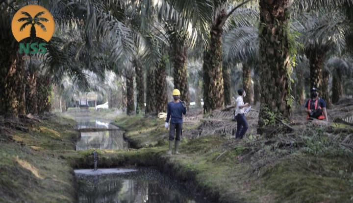 Harga Sawit Tengah Melejit, Saham Nusantara Sawit Sejahtera Menarik untuk Investasi